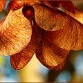 III-Klon - owoc ... w dzieciństwie mówiliśmy na nie noski :) #Klon #nasiona #owoc