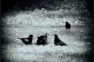 Rozmowa #gawrony #ptaki
