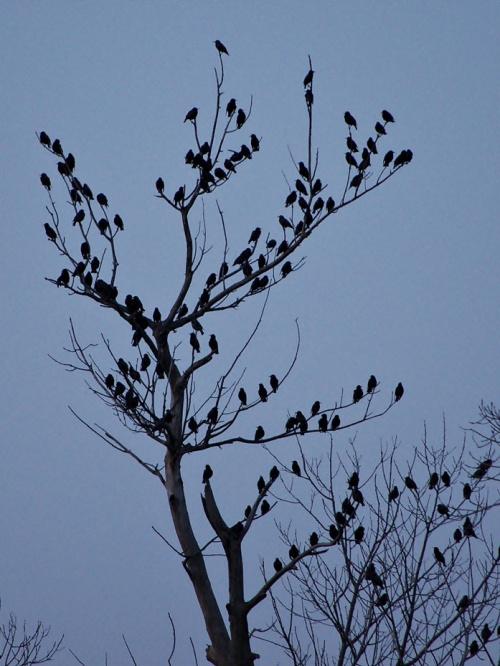 zlot szpaków... wiosenny? w lutym? #szpaki #ptaki #Luty2014