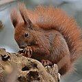 #wiewiórka