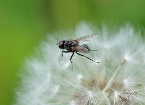Z muchą w roli głównej - puszyście