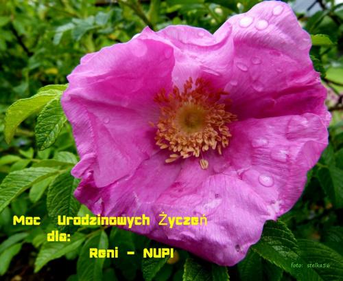 Reniu, z radością zaczynaj każdy dzień, wciąż z nowymi nadziejami ... WSZYSTKIEGO NAJLEPSZEGO !!! **** ulub. nupi **** #kwiaty #ogród #róże #urodziny #wiosna #życzenia