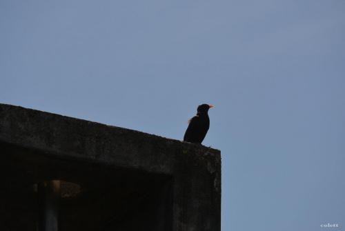 Siadł kos na kominie i śpiewa ... #przyroda #ptaki