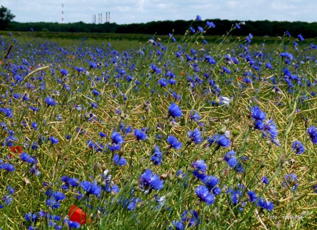 ... chabrowo ... #chabry #kwiaty #pola #przyroda