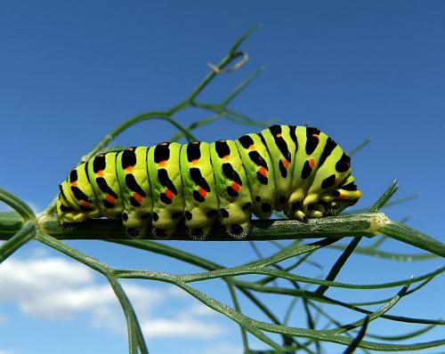 paź królowej #owady #przyroda #makro
