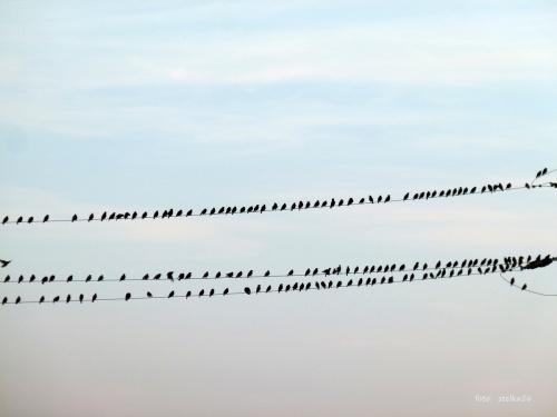 chyba są to szpaki ? było daleko, a ja miałam tylko lumixa, na dokładkę wysiadłam z auta przy bardzo ruchliwej drodze ... #ptaki #szpaki