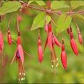 Fuksja....Dedykacja i serdeczne pozdrowienia dla Kazi/stelka56/...:), dziękuję za pomoc w odnalezieniu nazwy tej roślinki.. #kwiaty #rośliny