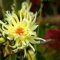 dalie w moim ogrodzie ... :) **** ulub. olike **** #dalie #jesień #KoniecLata #kwiaty #ogród #wrzesień