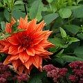 dalie w moim ogrodzie ... :) #dalie #jesień #KoniecLata #kwiaty #ogród #wrzesień