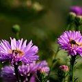 fruwające w ogródku ... **** ulub. ewawardzala **** #kwiaty #motyle #ogród #owady #pszczoły