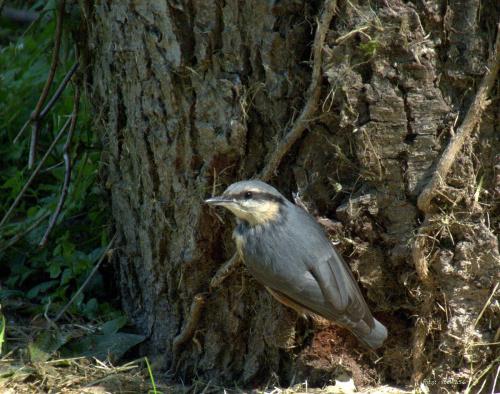 kowalik ... **** ulub. lidiaizabela **** #kowaliki #park #ptaki #StrzelceOpolskie