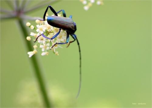 wonnica piżmówka (Aromia moschata) #AromiaMoschata #lato #łąka #owady #Sarbinowo #WonnicaPiżmówka #żuczki #chrząszcze