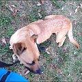 #amstaff #schronisko #pies