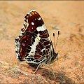 Pokłonnik osinowiec #Motyl