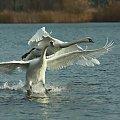 Łabędz niemy #kaczki #łabedzie #ptaki