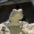 Jaszczurka (Turcja 2013) #Gady #Jaszczurki