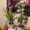 Burrageara Nelly Isler i Dendrobium nobille #storczyk