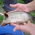 świnia, ryba #swini #ryba