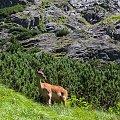 Łania... #arietiss #góry #łania #zwierzęta