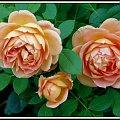 Lady Of Shalot #róże