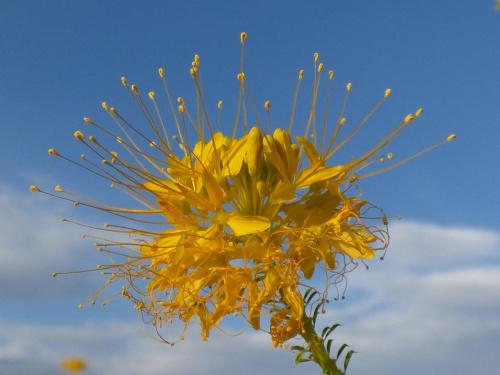 Yellow bee plant, alternatywnie yellow spiderflower (Cleome lutea) - Canyonlands, Utah, USA