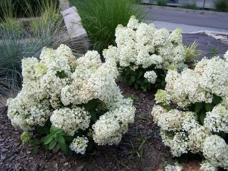 hortensja bukietowa bobo hydrangea paniculata c5. Black Bedroom Furniture Sets. Home Design Ideas