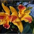 orchidee i storczyki z wyspy Mainau #przyroda