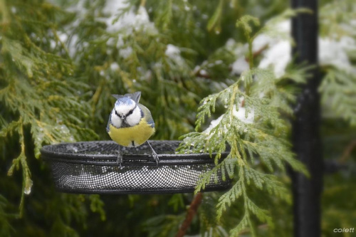 Sikora modraszka #wiosna #ptaki #ogród