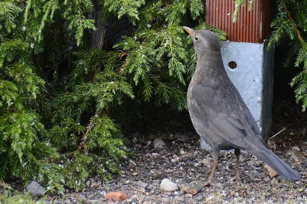 Pani Kos #wiosna #ptaki #ogród