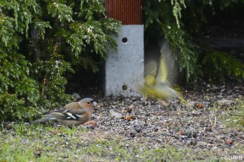 Zięba jer #wiosna #ptaki #ogród