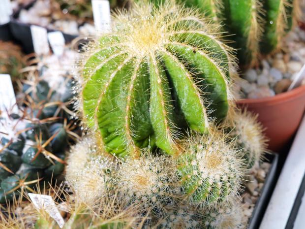 Eriocactus magnificus #kaktusy #rosa