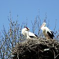 ... chyba szczęśliwi :) #bociany #Chomiąża #ptaki #wieś #wiosna