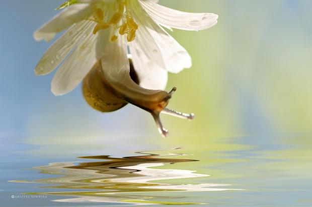 Ślimaczek na Rogownicy #ślimak #makro #kwiat #rogownica
