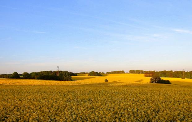 gdzie nie spojrzeć, wszędzie żółto ... #krajobrazy #pola #rzepaki #widoki #wiosna #żółto