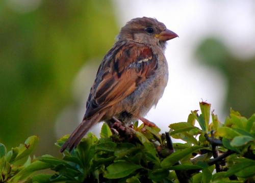Harry Sparrow