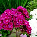 Goździk brodaty (nie wiem dlaczego brodaty) #kwiatki