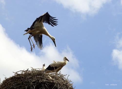 próba latania ... #bociany #Chomiąża #lato #ptaki