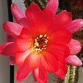 Chamaecereus #kaktusy