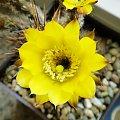 Lobivia aurea ferox #kaktusy