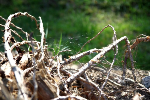 Sosna która poddała się wiatrowi zmieniając swój pion w poziom pokazując korzenie:)